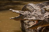 Chongqing crocodile crocodile pool center — Stock Photo