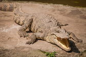 Chongqing crocodile crocodile pool center — Foto Stock