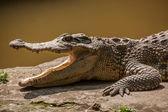 Centro de piscina Chongqing crocodilo crocodilo — Fotografia Stock