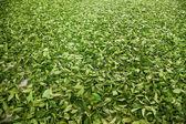 Cidade de chiayi de Taiwan, território de misato longo um chá de trabalhadores da fábrica estão pendurando chá oolong (primeiro processo de chá: chá a seco) — Fotografia Stock