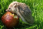 Kirpi elma yiyor — Stok fotoğraf