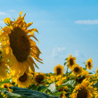 Sunflowers with and blue sky on a background — Stock Photo