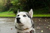 Close up shot of a siberian husky — Stock Photo