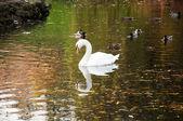 White swan in the lake — Stock Photo