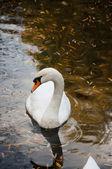 近摄镜头的湖中的天鹅 — 图库照片