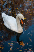 Close up shot of a swan in the lake — Stock Photo