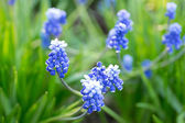 Blooming purple Muscari — Stock Photo
