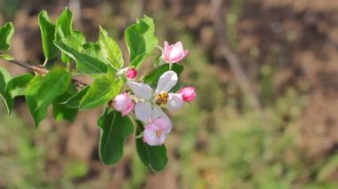 Bee in apple blossoms — Stock Video