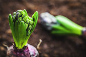 Hyacinth bulb — Stock Photo