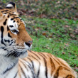 siberian amur tiger — Stock Photo