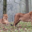 A pair of Lioness - Stock Photo