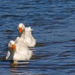 Pair of white geese - Stock Photo