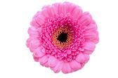 Pink Gerbera daisey — Stock Photo