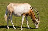 Scimitar rohatou oryx pastva — Stock fotografie