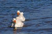 Pair of white geese — Stock Photo