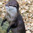 Asian Short Clawed Otter — Stock Photo