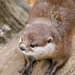 Photo: AsiShort Clawed Otter