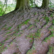 Tree roots, England — Stock Photo #26429297