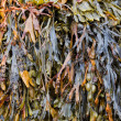 Seaweed — Stock Photo #30919747