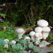 Spiney puffball mushrooms — Stock Photo