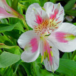 Pink and white lilies — Stock Photo #36205233