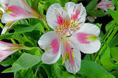 Pink and white lilies — Stock Photo