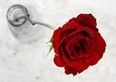 Red Rose and Dew — Stock Photo