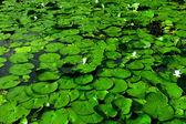 цветок лотоса текстуры — Стоковое фото