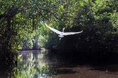 Biały ptak latający w dżungli rzeki — Zdjęcie stockowe