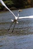 Vita heron i beach — Stockfoto