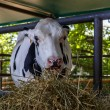 Cow eating — Stock Photo #47046563