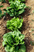 Lettuces plant group in garden — Stock Photo