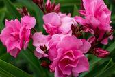 Pink roses from a garden — Foto de Stock