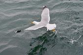 Seagull — Stock Photo