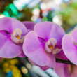 Beautiful Tropical Purple Orchids (Orchidaceae - phalaenopsis) — Stock Photo