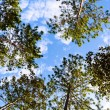 Pine Forest under Blue Sky and Cloud in National Park — Stock Photo