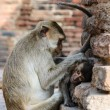Stock Photo: Pig-tailed Monkeys