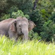 Thai Elephants, Mother and her Baby walking — Photo #33213283