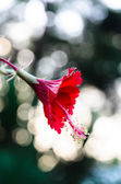 Red Hibiscus over beautiful bokeh in Thailand — Stock Photo