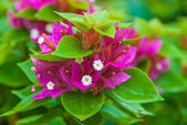 Close-up Pink blooming bougainvilleas with green foliage — Stock Photo