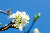 White Wild Himalayan Cherry — Stock Photo