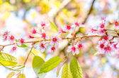 Wild Himalayan Cherry — Stock Photo