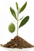 Olivier avec terre et vert olive — Photo