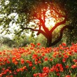 Stock Photo: Flower garden of poppies