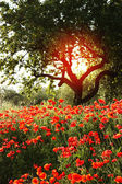Flower garden of poppies — Foto Stock