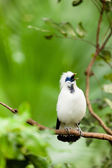 White exotic bird on a branch singing — 图库照片