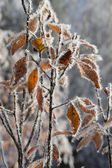 Frozen yellow leaves — Stock Photo