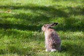 City rabbit sitting in grass — Stock Photo