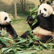 Two giant panda eating — Stock Photo