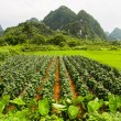 Stock Photo: Agriculture and beaturiful karst mountains